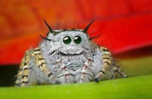 jumping-spider-eyes-9